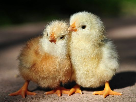 Free Download The Wallpaper Baby Chicken Picture Two Cute