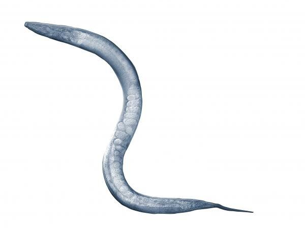 In roundworms, fats tip the scales of fertility   YveUte
