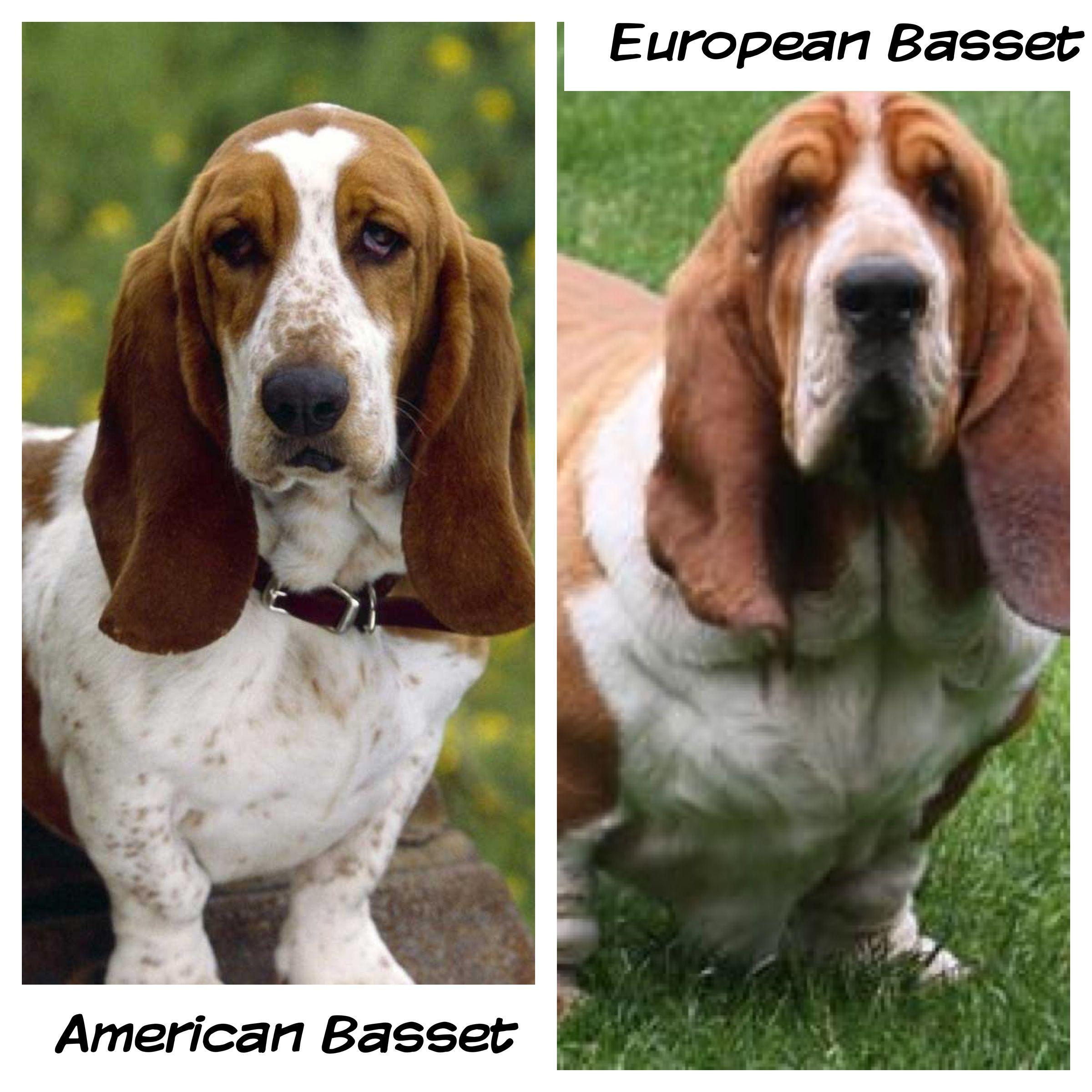 There Is A Difference Between The Two The European Basset Is