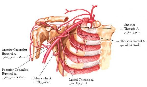 branches of axillary artery