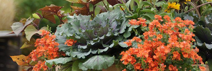 How to care for flowering cabbage and kale flowering