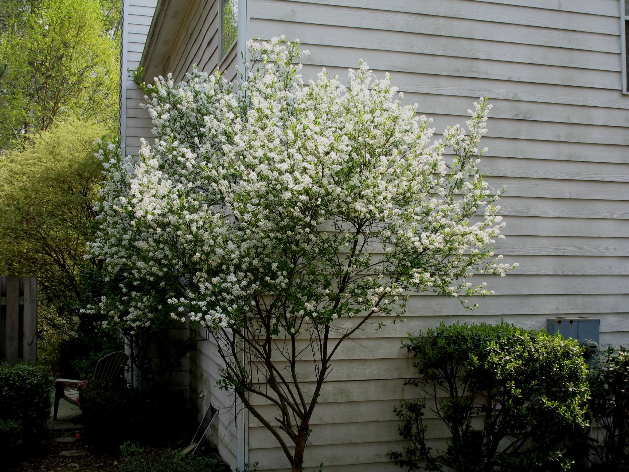 Pearlbush Exochorda Racemosa Exochorda Racemosa Onlineplantguide Com 3426 Moon Garden White Gardens Outdoor Garden