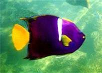 King Angel Fish - Pacific Ocean