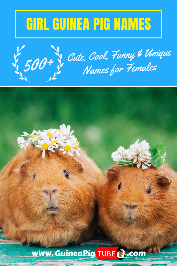 Pin On Guinea Pig Guide For Beginners