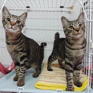 兵庫県の猫 雑種 里親募集情報です キジトラ好きの方 募集番号 184279 猫 里親 ねこ