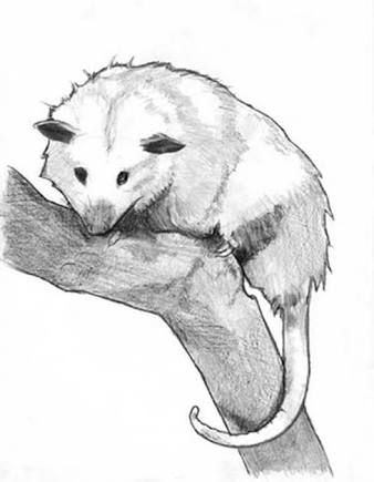 Possum Sketch Google Search I Love Possums Rats And Mice In
