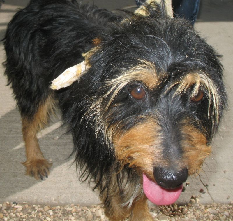 Adopt Scruffy On Animal Rescue Terrier Mix Dogs Terrier Mix