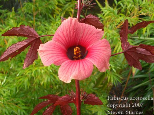 Hawaiin Tropical Plant Nursery: Ornament Tree & Shrub ...