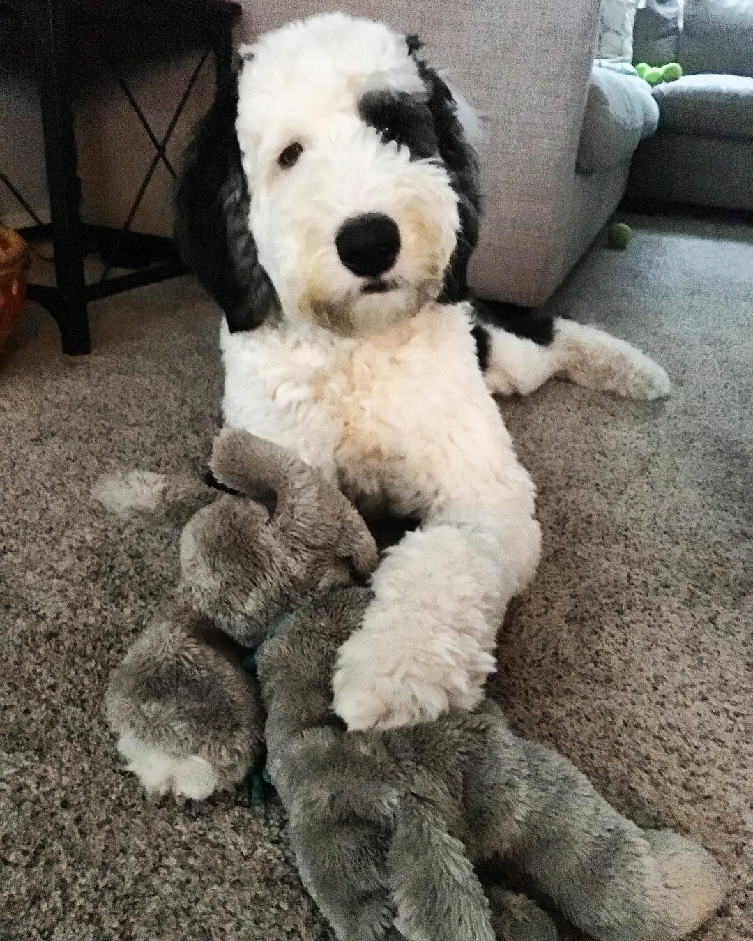 Sheepadoodle Poodle Mix Breeds Sheepadoodle Puppy Cute Dogs