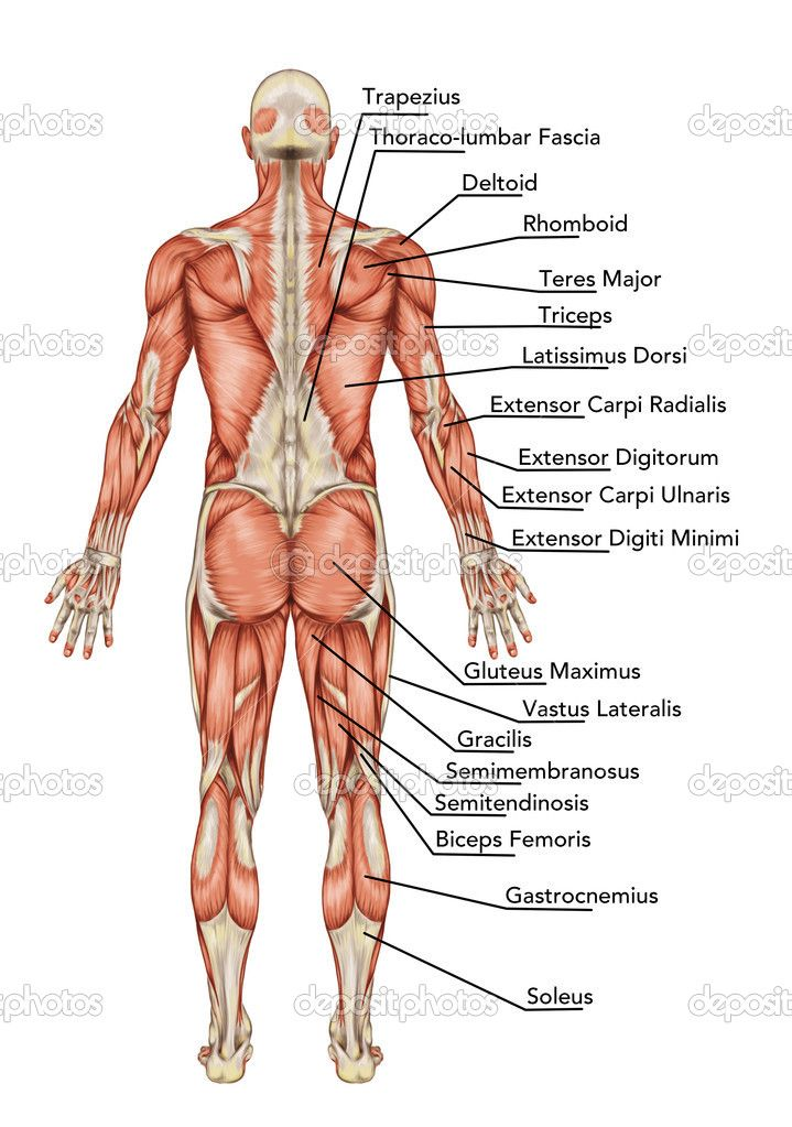 Anatomy Of Body Anatomy Of Male Muscular System Posterior View