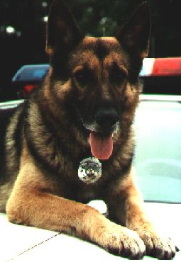 Police K9 Canine Work Dog Association Ilpwda K9 Training