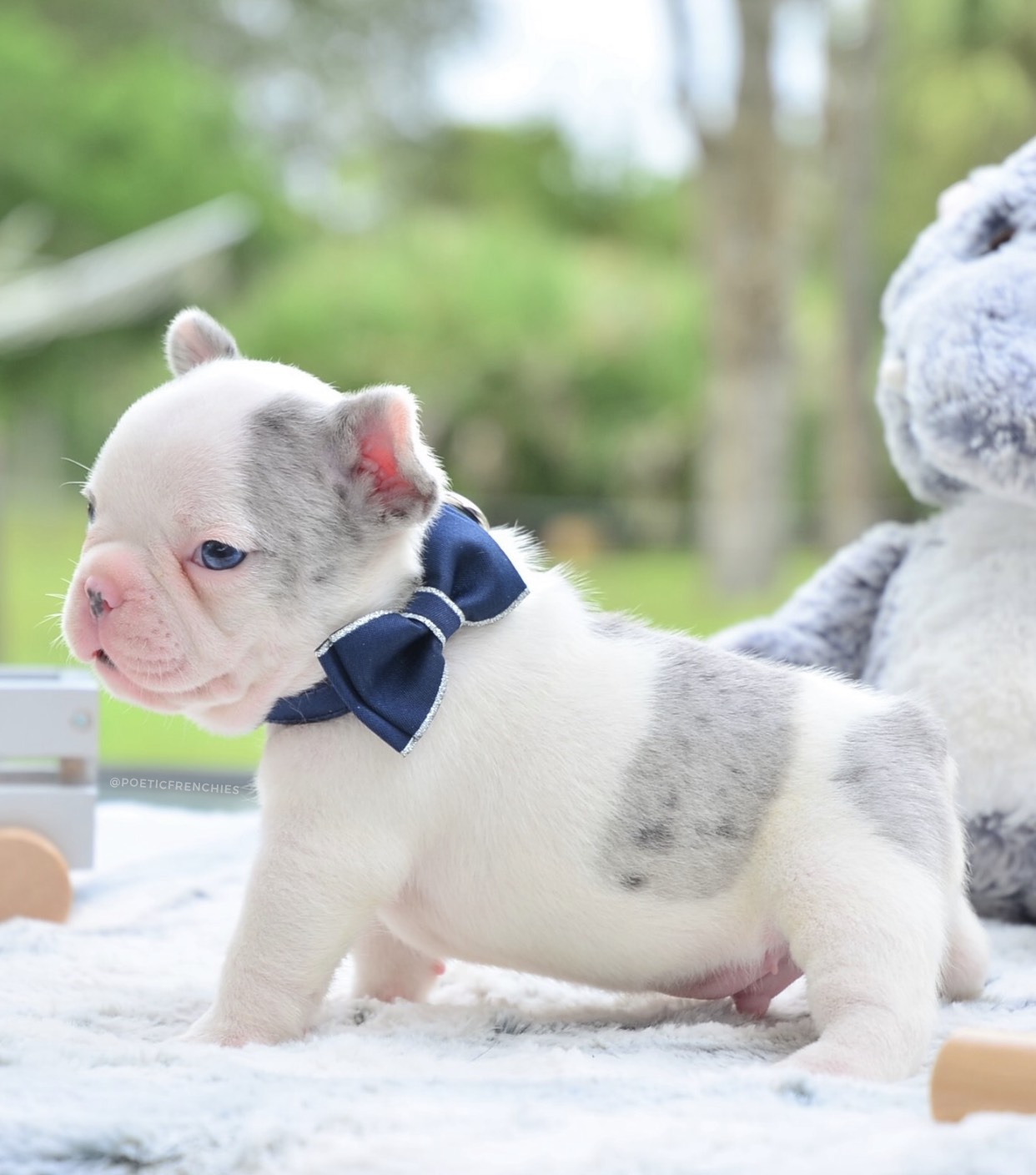Little Finn Is Looking For His Fur Ever Home Blue Merle Pied Male Www Poeticfrenchbulld French Bulldog Puppies Bulldog Puppies Cute Dogs And Puppies