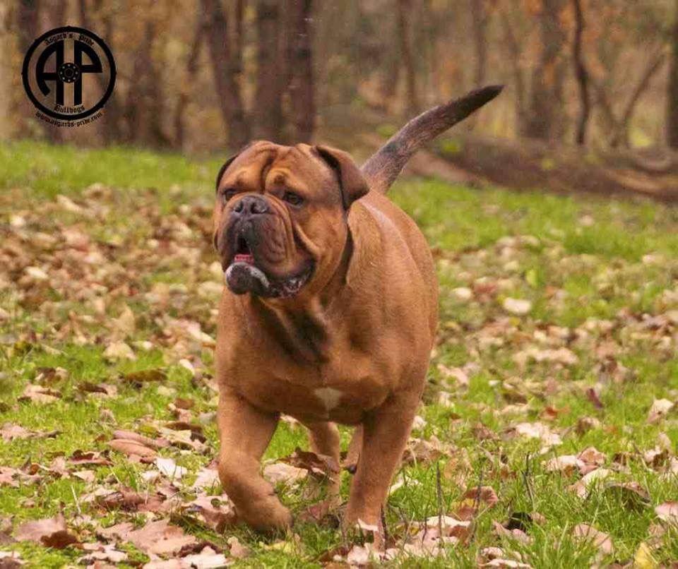 Ap Eugene Continental Bulldog Male Www Asgards Pride Com Continental Bulldog Bulldogge