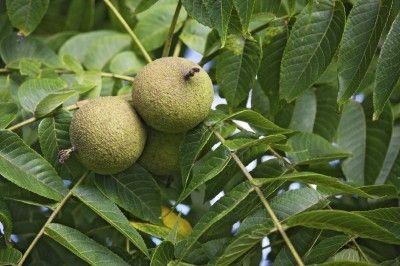 Black Walnut Tree Compatible Plants: Plants That Grow Under