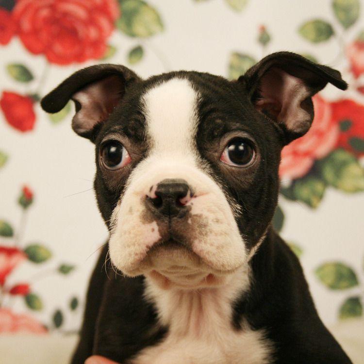 Boston Terrier puppies are so cute! Boston terrier