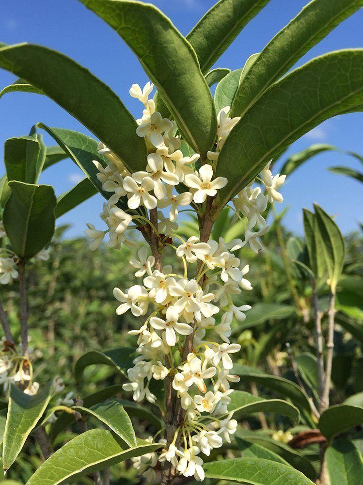 Shop Fragrant Tea Olive Tree For Sale Buy Shrubs Online Olive