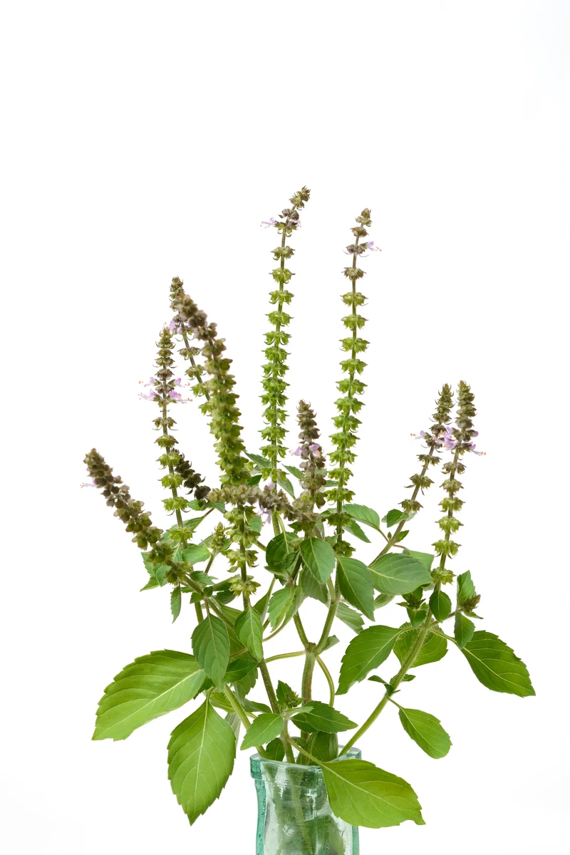 tulsi in english on tulsi google search tulsi plant tulsi medicinal herbs tulsi google search tulsi plant