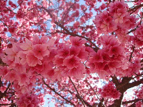 Uma Quinta Feira Bem Florida E Cor De Rosa Para Todos Japanese Garden Plants Cherry Blossom Flowers Japanese Cherry Blossom