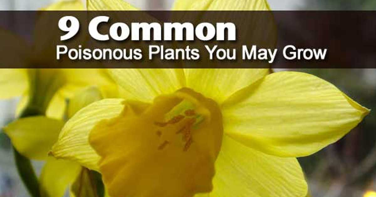 9 Common Poisonous Plants You May Grow Poisonous Plants Plants Poison Garden