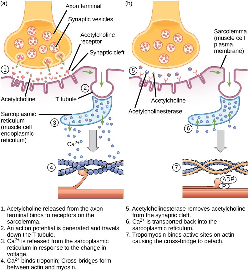 Muscle contraction | Biology revision | Pinterest | Muscle contraction