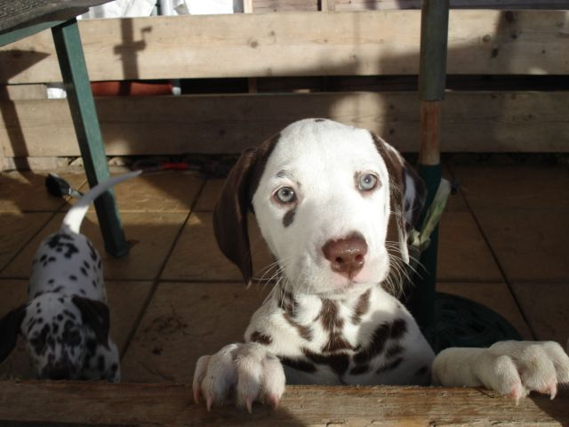 Dalmatian Dogs Dalmatian puppies for sale in Luton