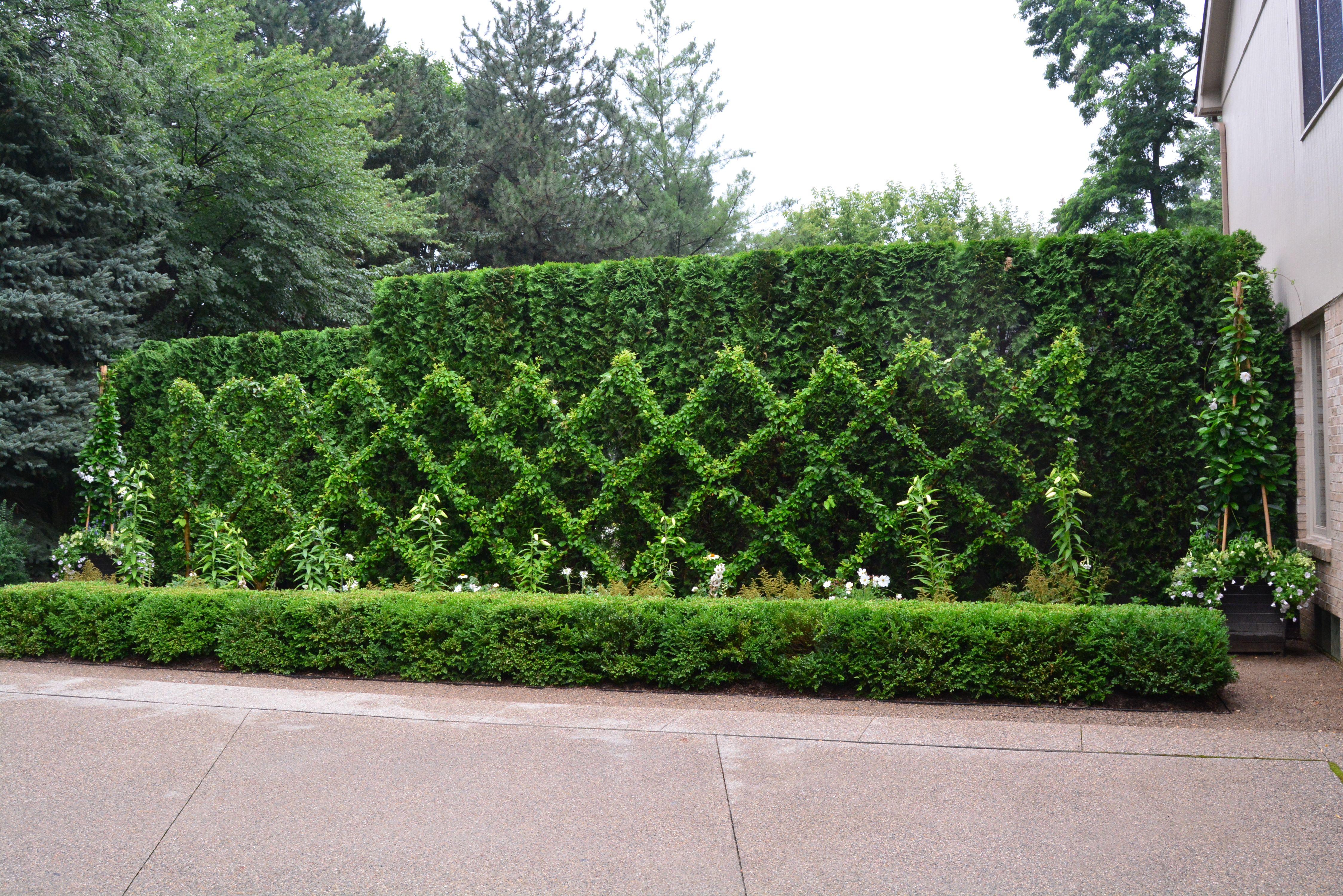 Belgian Fence Topiary Boxwood Garden Garden Shrubs