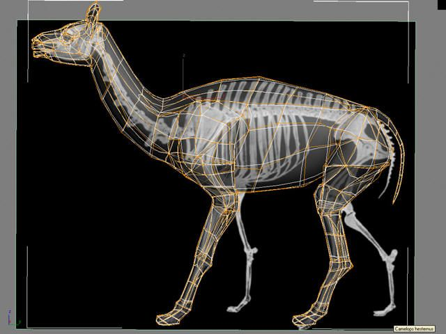 camelops hesternus extinct hill country animals of the