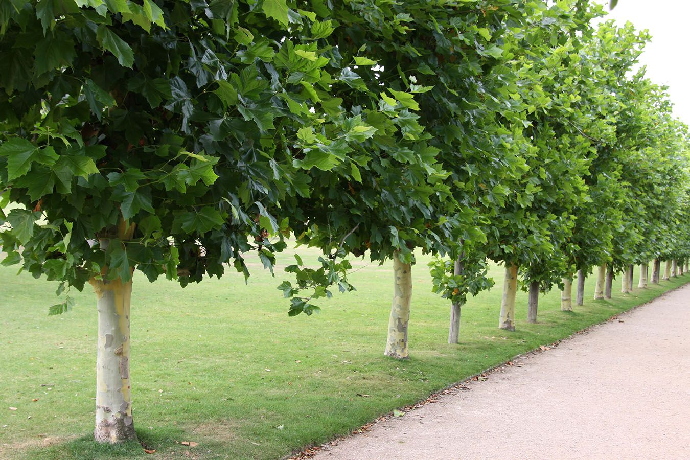 London plane platanus acerifolia chew valley trees for Garden trees london