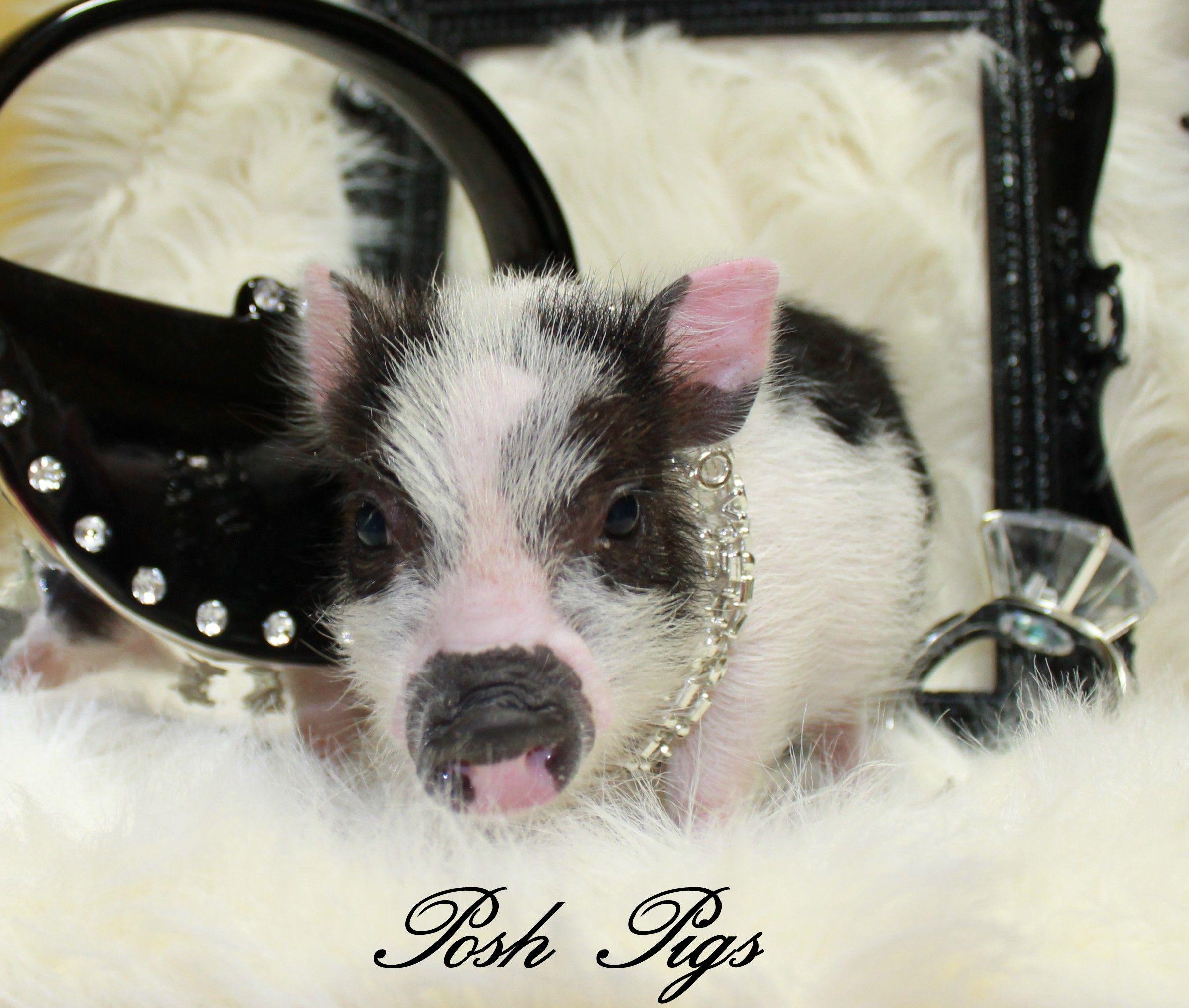 Teacup pigs for saleteacup pigmini pigultra nano pigsmicro teacup pigs for saleteacup pigmini pigultra nano pigsmicro voltagebd Gallery