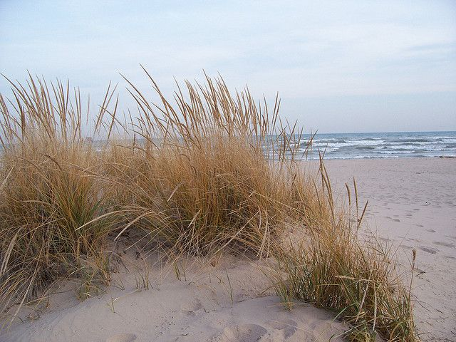Protected Sand Dune Plants American Beaches Beach Cottages Beach Grass