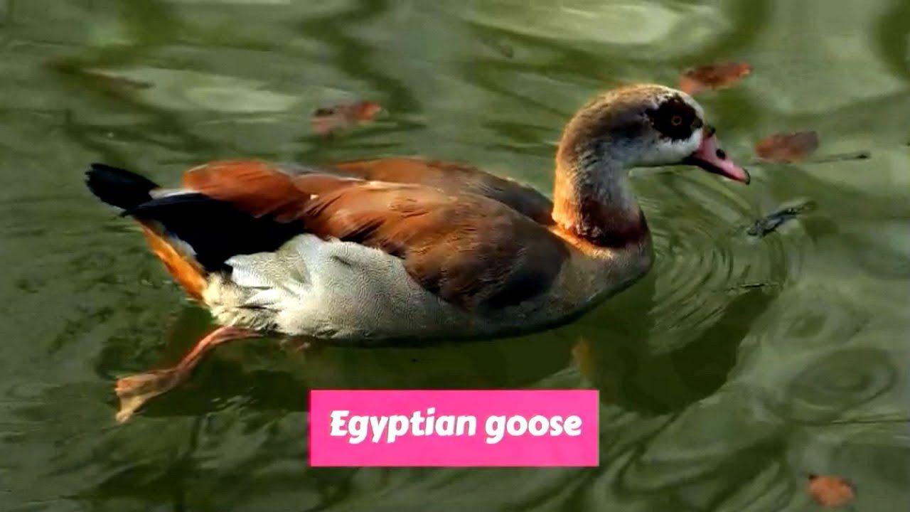 Egyptian goose alopochen aegyptiaca en 2020 con