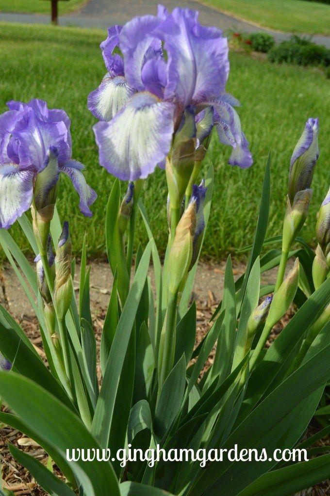 spring flowers more springtime in the gardens iris pinterest rh pinterest com