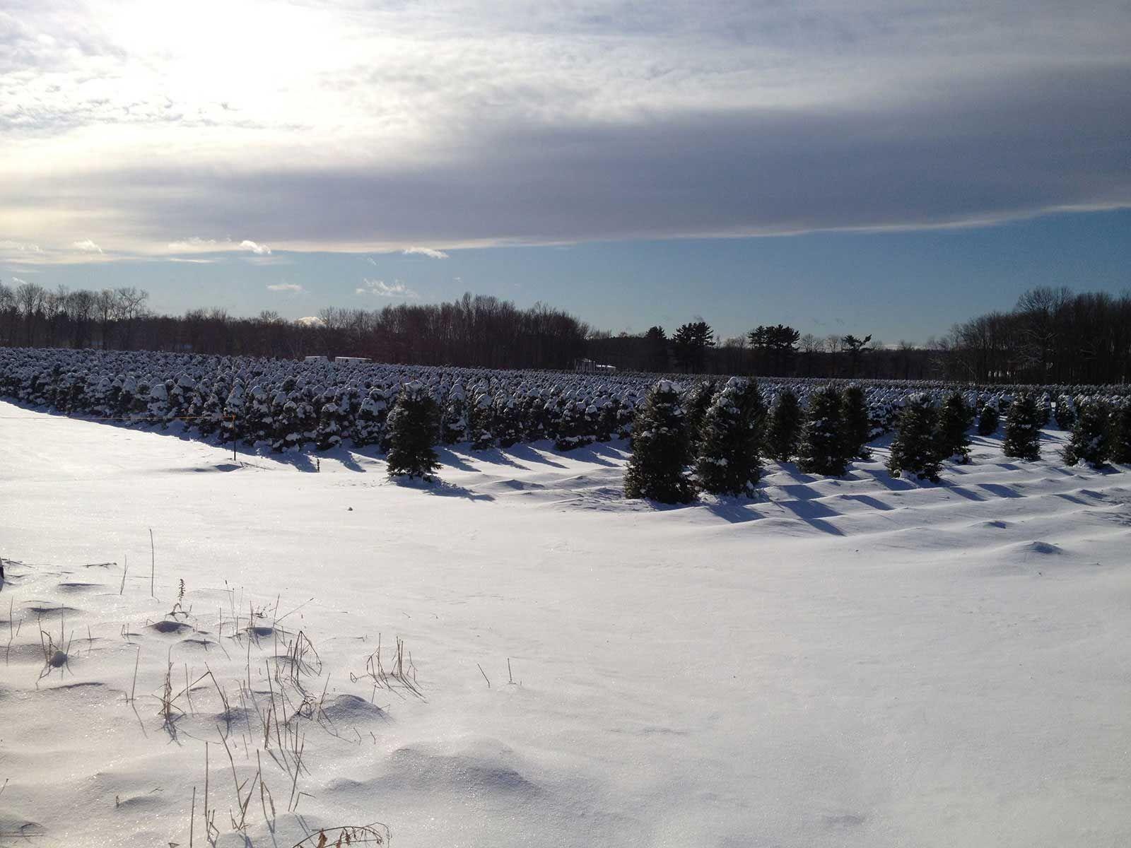Pin On Ct Grown Christmas Trees