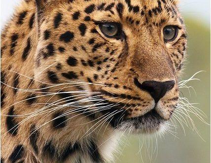 صور الفهد خلفيات وصور فهود جميلة جدا للفيس بوك والواتس اب موقع حصري Wild Cats Animals Beautiful Animals