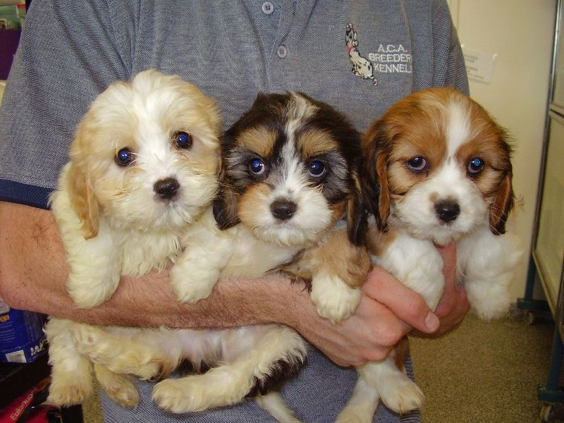 maltalier Google Search Designer dogs breeds, I love