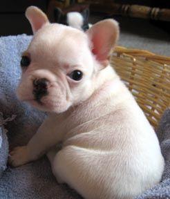 Pin By Jennifer On Frenchies White French Bulldog Puppies