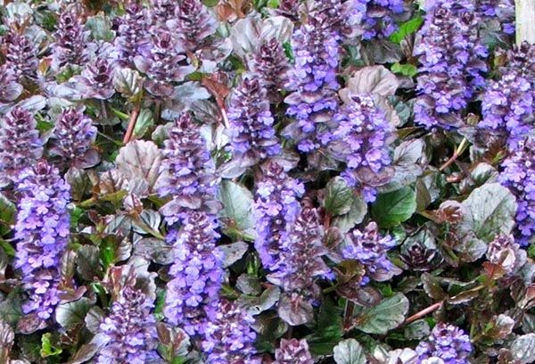 Purple Ajuga Shallow Rooted Ground Cover The Smiths
