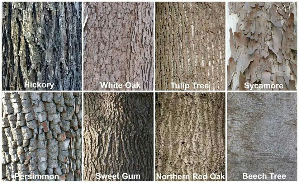 foto How to Identify Hickory Trees