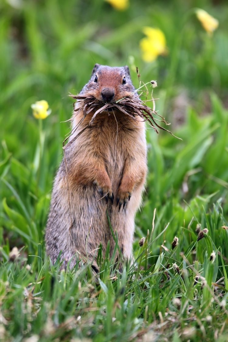 11 Reasons Why You Ll Fall In Love With Glacier National Park Animals Animals Wild Ground Squirrel