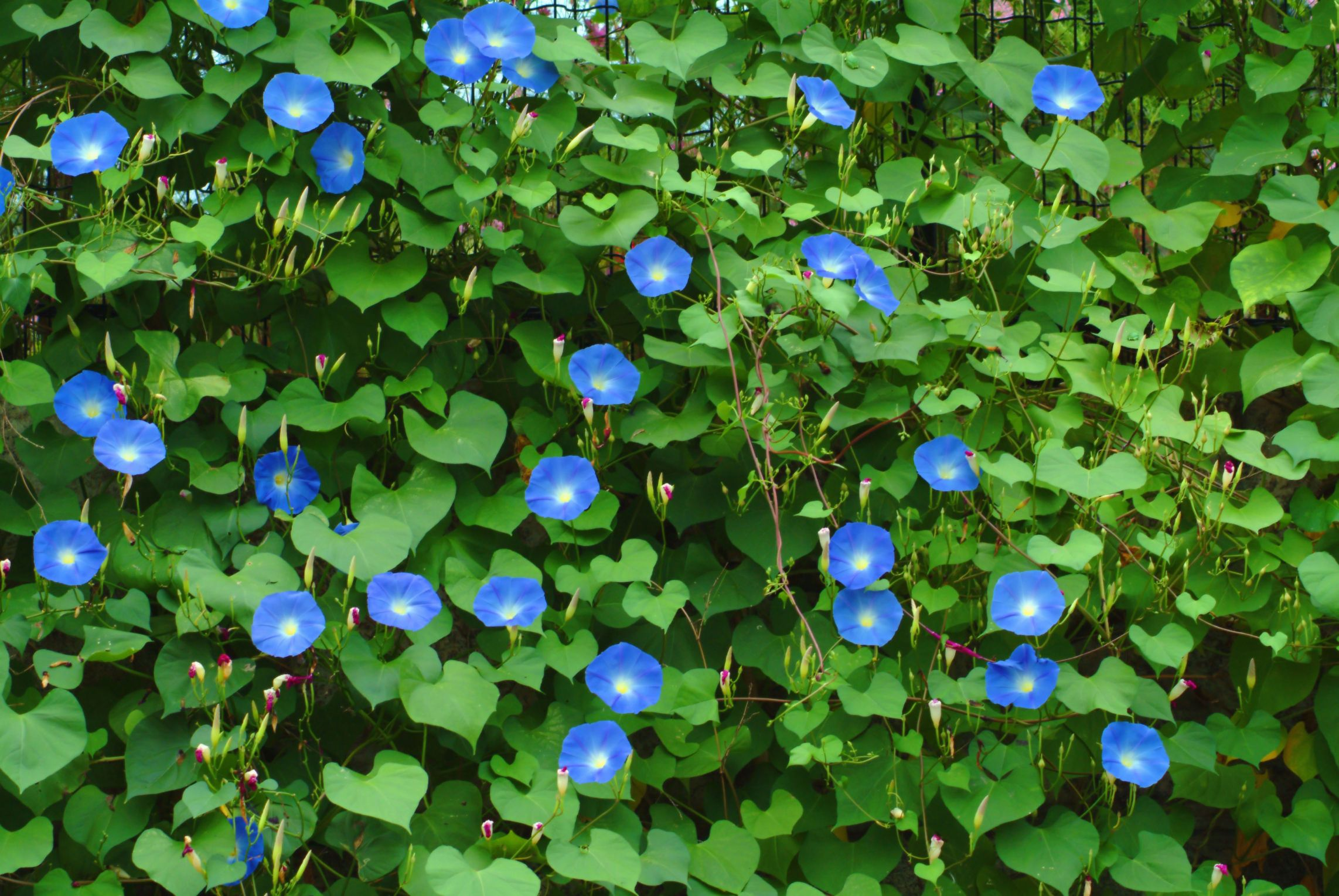 What is the Meaning of the Morning Glory Flower Morning