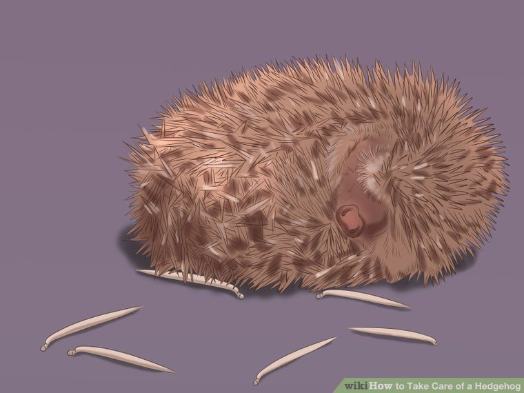 How To Take Care Of A Hedgehog With Pictures Pygmy Hedgehog Hedgehog A Hedgehog