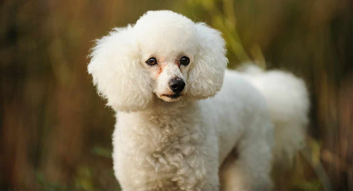 White Poodle – What Makes This Color Really Stand Out From The Crowd