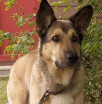 yellow Lab / German Shepherd Unique dog breeds, Dogs