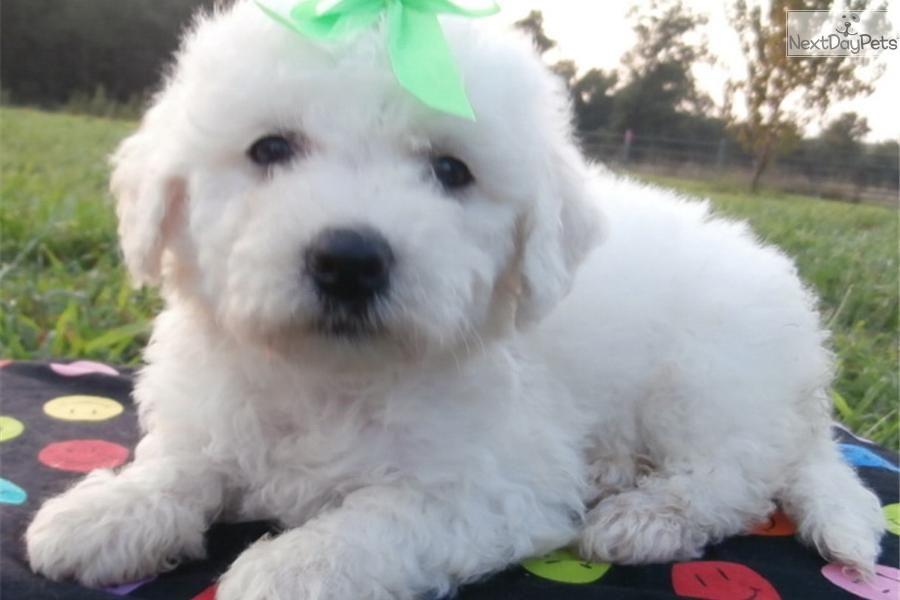 Meet Cila A Cute Bichon Frise Puppy For Sale For 500 Potty