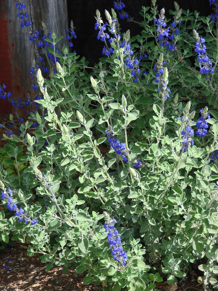 Salvia Chamadryoides X Marine Blue Marine Blue Sage Salvia
