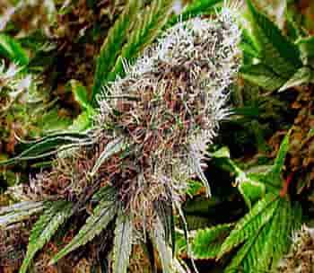 گل ماریجوانا Herbs Plants Flowers