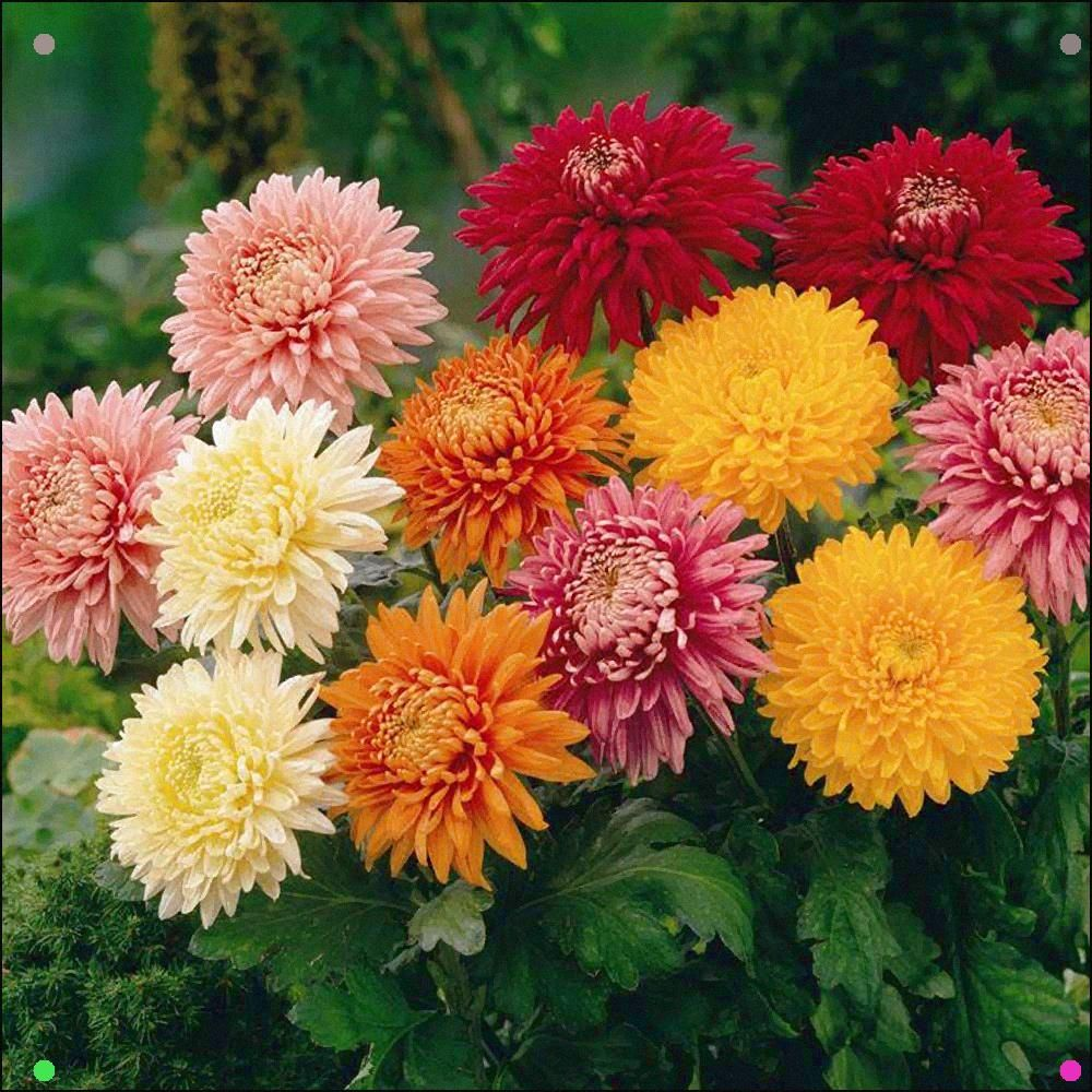 Chrysanthemum You Probably Won T Most Likely Articulate This One Yet You Unquestionably Can Respect Its E Biennial Plants Chrysanthemum Seeds Planting Flowers