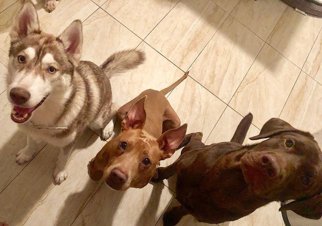 Pomeranian Husky Mix Aka Pomsky Pomsky Puppies Cute Dog