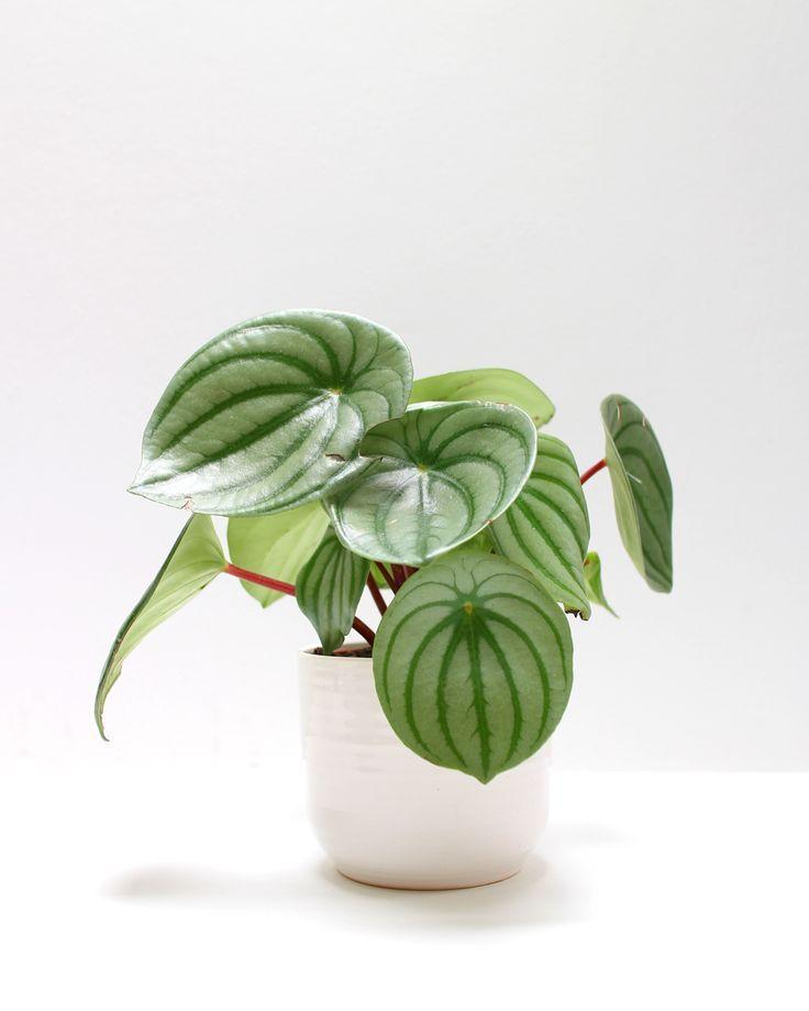 Radiator rt plants pinterest pflanzen for Pflanzen zimmerpflanzen