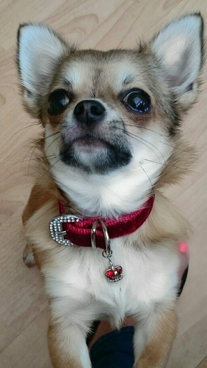 Buenos Dias Chihuahua Love Chihuahua I Love Dogs